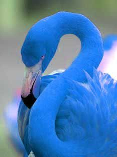 Blue Flamingo (Aenean phoenicopteri). Blue flamingos have been found in the Isla Pinzon archipelago, (in the Galapagos Islands).