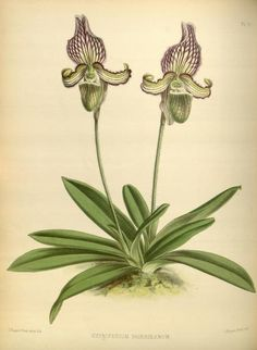 Orchid album :comprising coloured figures and descriptions of new, rare and beautiful orchidaceous plants /Conducted by Robert Warner and Benjamin Samuel Williams; the botanical descriptions by Thomas Moore; the coloured figures by John Nugent Fitch. 1883 - Plate 70