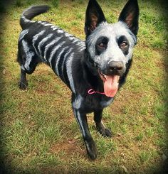 Pet Owners Use Non-Toxic Face Paint To Turn Their Animals Into Creepy Skeletons For Halloween (looks like Razzo!)