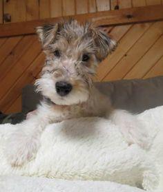 NICHOLAS is an adoptable Wire Fox Terrier Dog in Mokena 7b57f31502c1