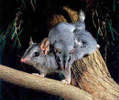 The Phascogales, also known as wambengers, are carnivorous Australian marsupials of the family Dasyuridae. There are two species: the brush-tailed phascogale and the red-tailed phascogale. Reptiles, Mammals, Animal Facts, Animal 2, Australian Possum, All Animals Are Equal, Rare Animals, Unusual Animals, Australia Animals