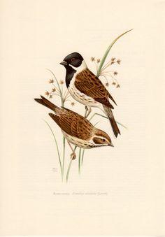 1958 Reed Bunting Bird, Antique Print, Vintage Lithograph, Emberiza schoeniclus, Emberizidae, Rohrammer, Finch, Passerine, Ornithology