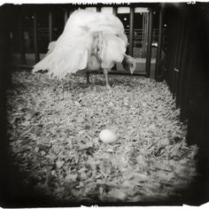 White Turkey - Austin, Texas 16x20/F Print