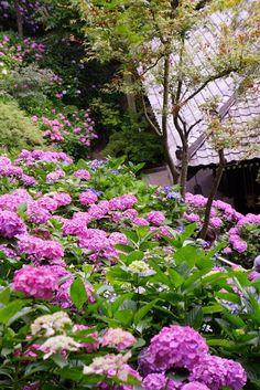 Hase-dera Temple, Kamakura, Japan #Hydrangea #紫陽花 #Kamakura