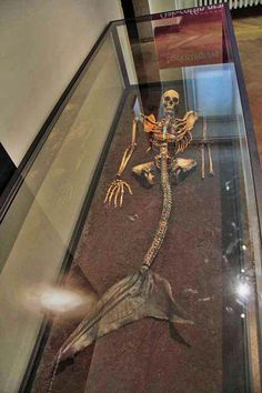 The Danish National Museum has on display the skeleton of the Haraldskaer mermaid, discovered by a farmer while ploughing his field. She was likely a member of the Asian branch of the mermaid family, which makes her a rare find in Europe. The Haraldskaer mermaid was about 18 years old, with long, thick hair and long, sharp canines. She had a purse containing a shark's tooth, a snake's tail, a mussel shell and a flower. The skeleton is complete, though missing a hand — or possibly a fin.