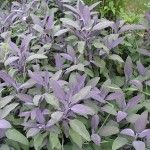 Purple Sage (Salvia occidentalis)