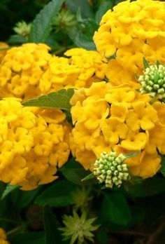 Yellow hydrangeas. Possible wedding flowers.