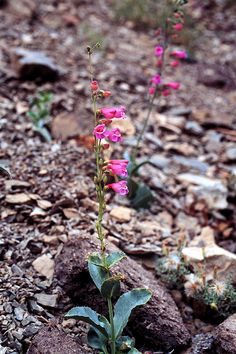 CalPhotos: Penstemon floridus; Panamint Beardtongue