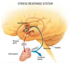 How To Fix HPA Axis Dysfunction