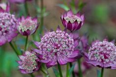 Astrantia major `Moulin Rouge`