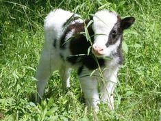 im gonna cry this cow is so cute. Cute Creatures, Beautiful Creatures, Animals And Pets, Funny Animals, Fluffy Cows, Baby Cows, Baby Farm Animals, Cute Baby Cow, Cute Cows