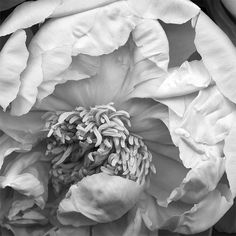 """Cristalle"" peony © Kate Scott www.katescottstudio.com"