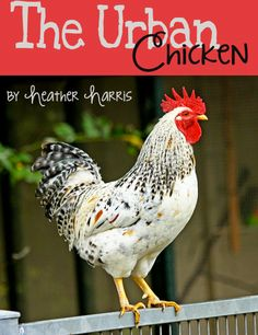 My review of The Urban Chicken by Heather, The Homesteading Hippy on MomPrepares.com @MomPrepares