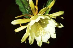 Kakteen mit Musik Epiphyllum gehören zur Gattung der  Blattkakteen. Diese unscheinbaren Pflanzen bringen geradezu unglaubliche Blüten hervor. Kombiniert wird diese Bilderschau mit der Komposition 'Love for two' für Blockflöte und Gitarre von Georg Lawall, gespielt von Martin Hermann, Blockflöte und Georg Lawall, Gitarre.