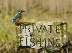Kingfisher - After 6 Years And 720,000 Attempts, Photographer Finally Takes Perfect Shot Of Kingfisher.