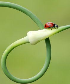 #Ladybug #Insect