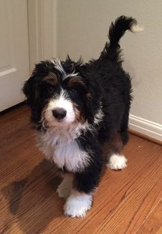 tiny bernedoodle full grown - Yahoo Search Results Yahoo Image Search Results