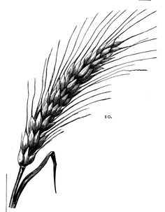 "tattoos of wheat | wheat images"" Posted by %POSTER_NAME%"