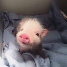 Conheça os filhotes de 15 animais e resista à fofura deles, se puder - Süße Tiere - Cute Baby Pigs, Cute Piglets, Baby Piglets, Cute Little Animals, Cute Funny Animals, Little Pigs, Animal Pictures, Cute Pictures, Teacup Pigs