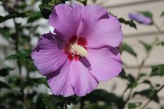 Purple- Rose of Sharon.  Loves hot weather.  Will bloom in sun or part shade.  Come in different sizes and colors.  Attractive to hummingbirds and butterflies