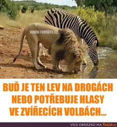 Buď je ten lev na drogách nebo potřebuje Jokes Quotes, True Quotes, Memes, Zebras, Lol, Animals, Buisness, Captions, Funny Things