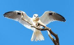 "Australian Black-shouldered Kite (Elanus axillaris) A juvenile on ""touch-down"""