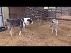 Дружба Волка и Алабая