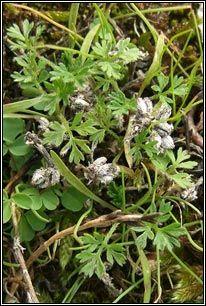 Irish Wildflowers - Knotted Hedge-parsley, Torilis nodosa Hedges, Wild Flowers, Plants, Flora