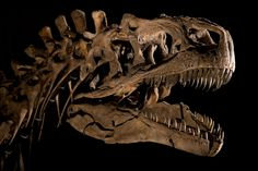 Allosaurus fragilis. Image credit: Carnegie Museum of Natural History.
