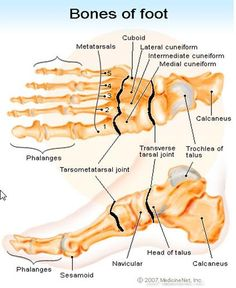 Sesamoid Bone is a little bone that is entrenched in a joint capsule or tendon. Their functions probably are to modify pressure, to diminish friction, and occasionally to alter the direction of a m...