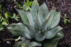 Century Plant for sale buy Agave parryi Chihuahua form