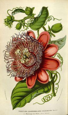 Passiflora Quadrangularis from Flore des Serres et des Jardins de l'Europe (Flora of Greenhouses and Gardens of Europe), edited by Louis van Houtte, Ghent, 1845-1880