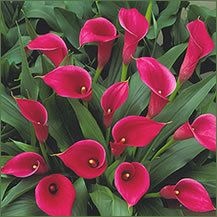 Pacific Callas is a wholesale supplier of premium quality calla lily bulbs and calla lily cut flowers, direct from the world's best calla lily growers. Strange Flowers, Rare Flowers, Exotic Flowers, Amazing Flowers, Beautiful Flowers, Calla Lily Flowers, Calla Lillies, Tulips, Lilly Plants