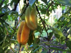 Do not deceive anyone. Do not turn away from anyone. Never wish anyone harm. source: Buddha image: Eddie Two Hawks, Eddie's Garden*, Carambola Fruit September 2015 *this site is protected bycopyr...