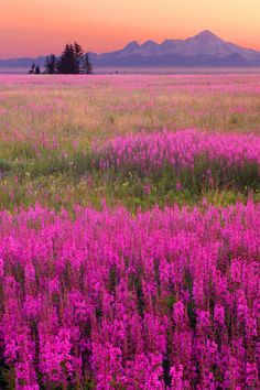 Alaskan Fireweed by Steve Ellison