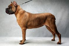 Liberty's Armed and Dangerous - Best of Breed Westminster 2013 - SIMPLY STUNNING - Love Miss Josie! ;o)