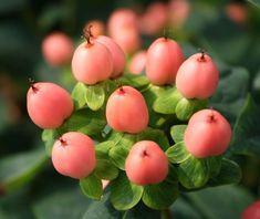 Hypericum- Peach/Coral