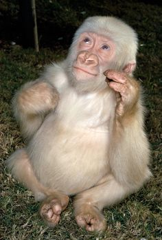 Snowflake is an albino gorilla. He is the only known albino gorilla so far, and was the most popular resident of the Barcelona Zoo in Spain. Primates, Mammals, Amazing Animals, Unusual Animals, Animals Beautiful, Strange Animals, Cute Funny Animals, Cute Baby Animals, Animals And Pets