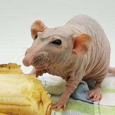 Журнал про лысых крыс Funny Rats, Cute Rats, Hairless Rat, Sphynx, 1970 Hairstyles, Animals And Pets, Cute Animals, Mole Rat, Emergency Vet