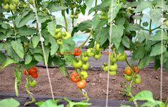 Tomatele defoliate au un aspect foarte îngrijit.
