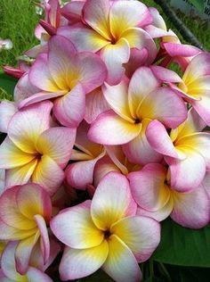 "The plumeria ""Kona Candy"" Hawaiin Flowers, Plumeria Flowers, Tropical Flowers, Exotic Flowers, Tropical Plants, Amazing Flowers, Pretty Flowers, Hibiscus, Maui"