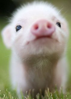~~Piglet | Top Ten Fascinating Facts about Pigs. Newborn piglets learn to run to their mother's voices and to recognize their own name | Peta.org~~