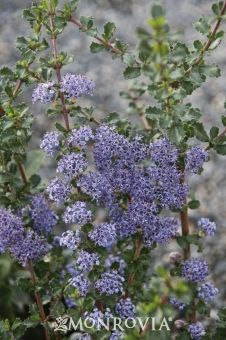 Blue Jeans California Lilac (Ceanothus x Blue Jeans) - Shrub, Full sun, drought tolerant, fast growth to 6 ft. tall and wide Drought Tolerant Shrubs, Drought Resistant Plants, California Lilac, Deer Resistant Garden, Front Yard Plants, Monrovia Plants, Plant Catalogs, Water Wise, Garden Shrubs