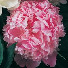 Peony, beautiful flower my mom grew in the backyard. Brings back great memories.