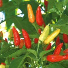 grow Tabasco peppers