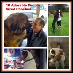 10 People-Sized Pooches (Photos)