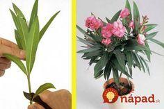 Ak doma túto krásnu rastlinku máte, prípade ju má vaša suseda či kamarátka, naučíme vás, ako si jednoducho rozmnožiť. Stačí jediná len jediná vetvička!