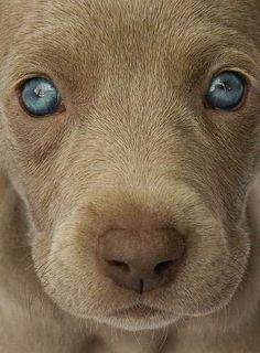 Weimaraner Puppy Eyes
