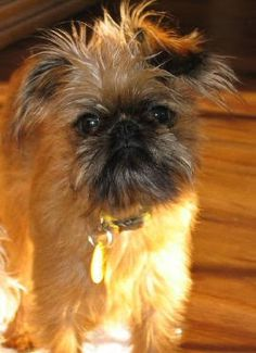 Penny The Brussels Griffon Dogs Daily Puppy. Www Dog Breed Facts Com Images Brussels Griffon Brus. Dog Breeds List, Cat Breeds, Griffon Dog, Brussels Griffon Puppies, Small Dog House, Different Dogs, Lap Dogs, Dog Life, Cute Pictures