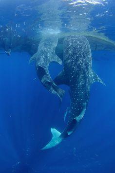 Little shark big shark! Under The Water, Under The Sea, Underwater Creatures, Underwater Life, Ocean Creatures, Underwater Painting, Funny Animals, Cute Animals, Wild Animals